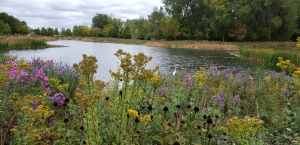 Autumn flowers in the foreground with a pond and a white egret in the background.